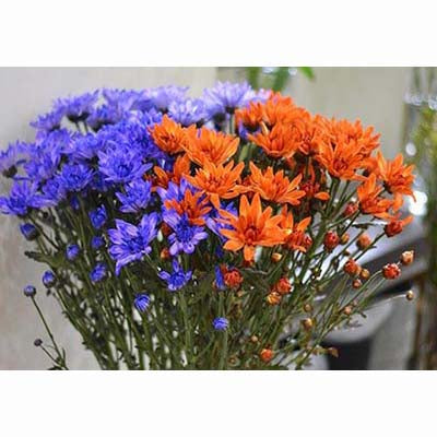 orange purple dyed chrysanthemums