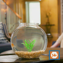 Load and play video in Gallery viewer, Complete Goldfish Set + LIVE Goldfish