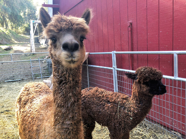 GOATS & ALPACAS: Milking, Making & Crafting Sunday April 14, 2019 ~ 10a-1p