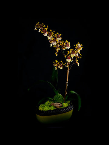 Oncidium Orchid with yellow and white blossoms