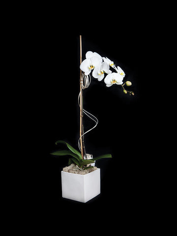 Single Stem Phalaenopsis in a simple ceramic container