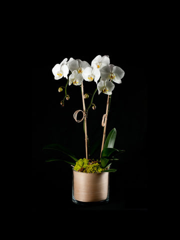 Twin Phalaenopsis Orchids in a Veneer Container