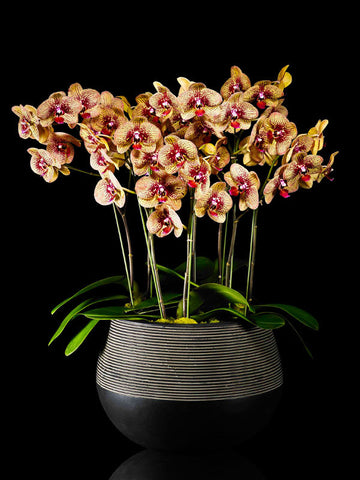 Colorful Phalaenopsis garden in a modern container