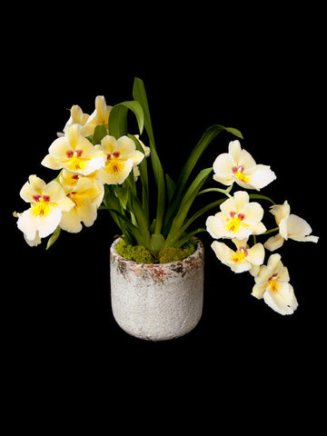 Fragrant Miltoniopsis Orchid in a crackle ceramic container
