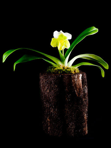 Lady Slipper Orchid in a Natural Container