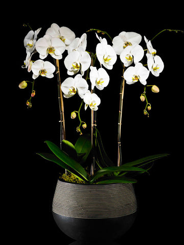 Modern container with three Phalaenopsis Orchids
