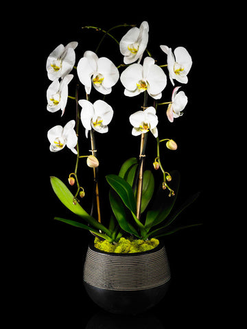 Modern Container with two Phalaenopsis Orchids
