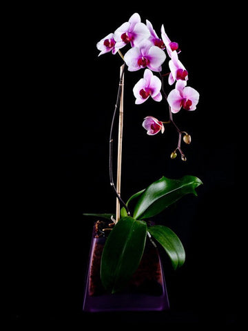 Purple Orchid Blossoms in a matching container
