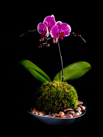 Striking purple Phalaenopsis in a dark ceramic container