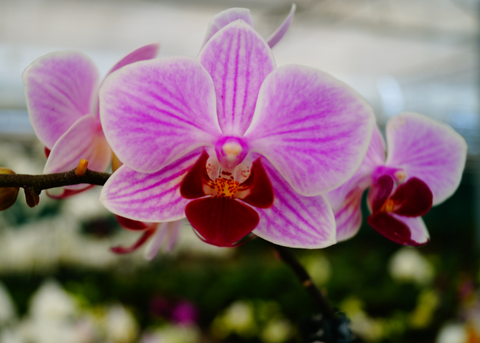 How to repot Phaelnoopsis orchids
