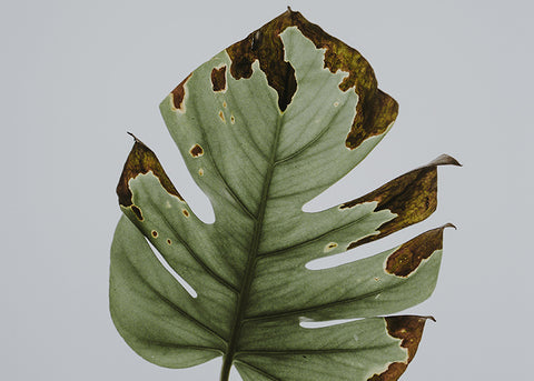 why are my Monstera leaves turning brown