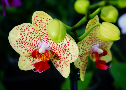 How to care for Phaelnoopsis Orchids NZ