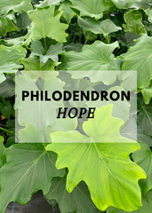 philodendron hope nz
