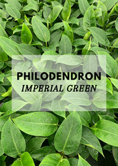 philodendron imperial green nz