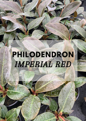 philodendron imperial red nz