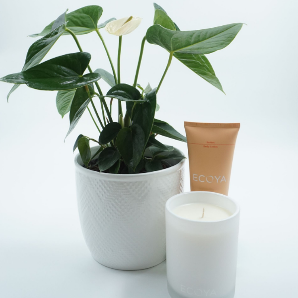 anthurium house plant in white ceramic pot with ecoya bundle