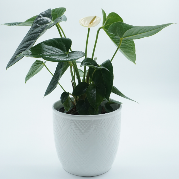 Anthurium house plant in white pot Christchurch Delivery