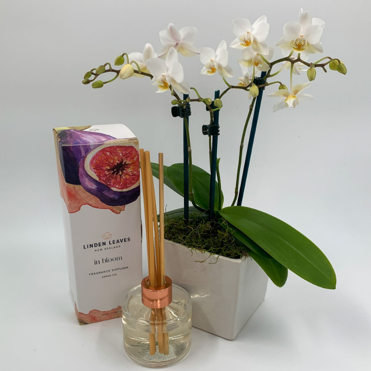 Mini Phalaenopsis Orchid Gift Pack - NZ Wide Delivery