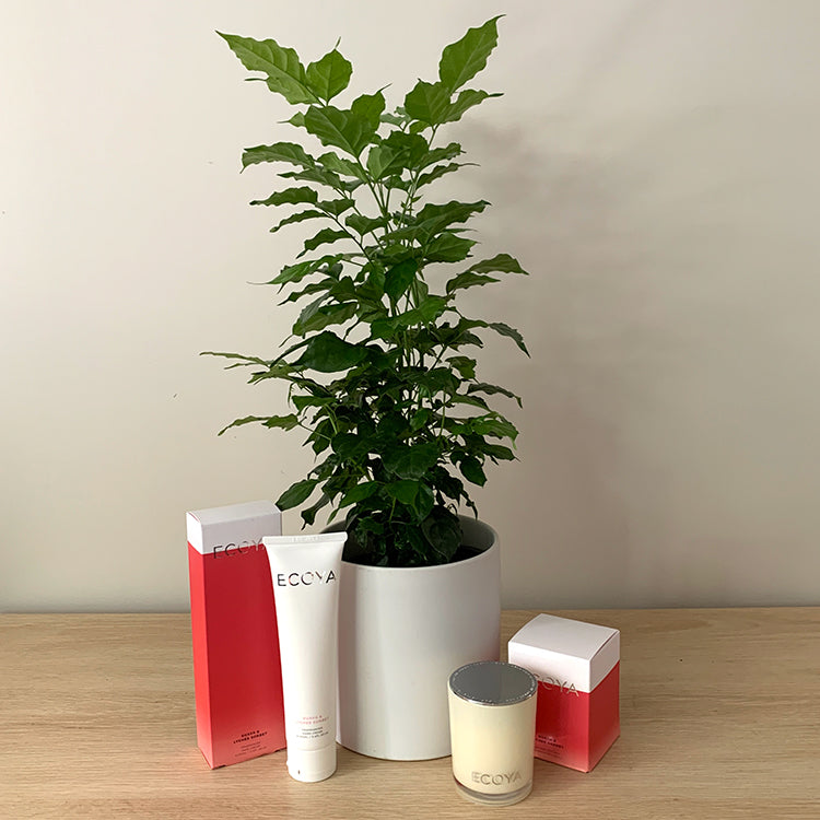 China Doll House Plant Gift Bundle in White Pot -