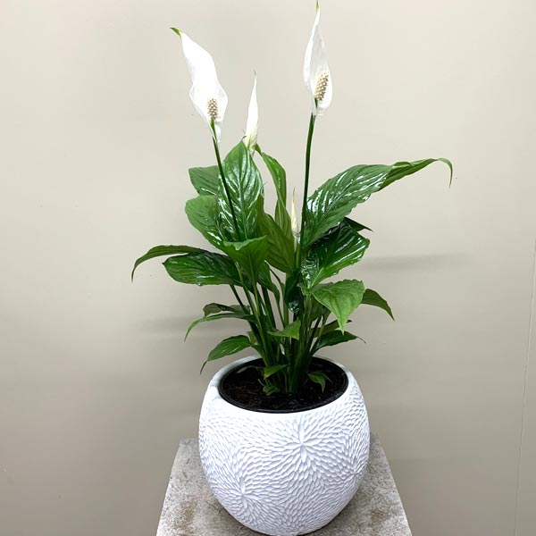 Large Peace Lily in beautiful textured pot