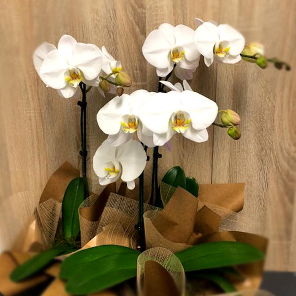 Phalaenopsis Orchid - *Special*