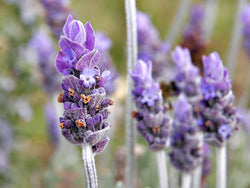 Lavender 100% Natural Essential Oil - SCENTA