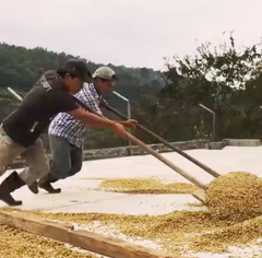 Drying Honey Process | Santa Felisa | Guatemala