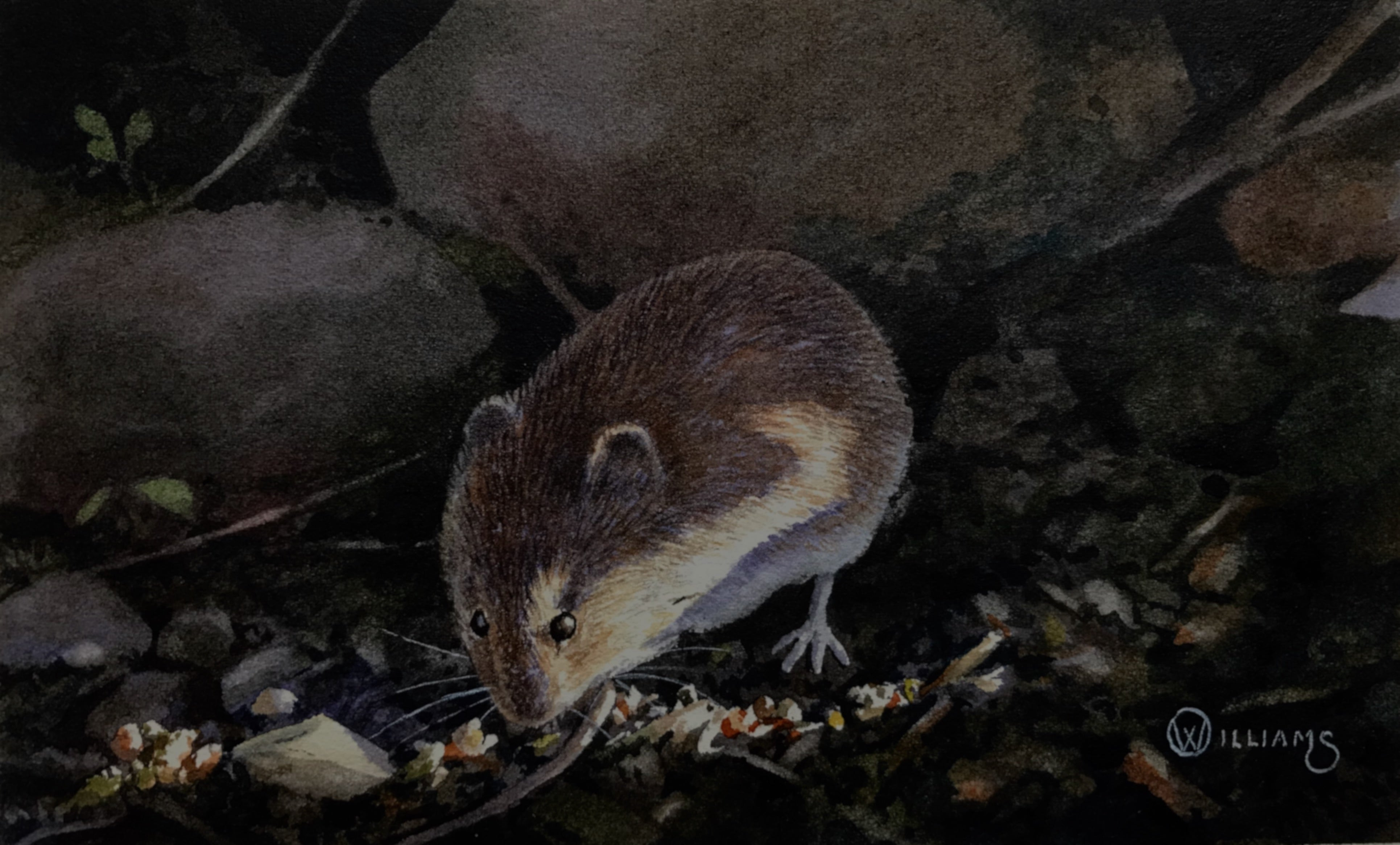 'Evening Shadows (Vole)' - Original Watercolour Painting by Owen Williams - 9 x 16cm