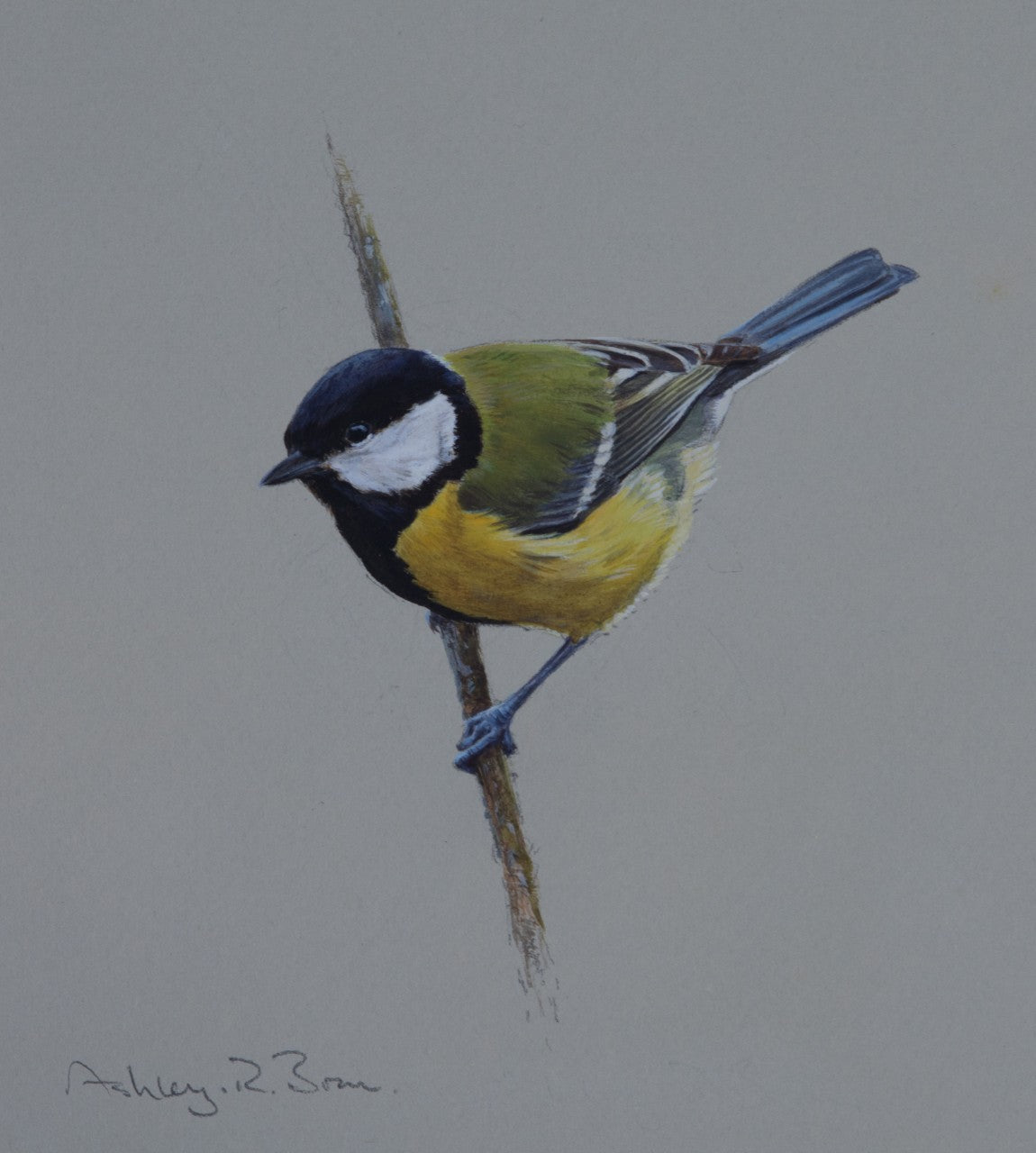 'Great Tit Study' - Original watercolour by Ashley Boon - 7.5 x 6.5""