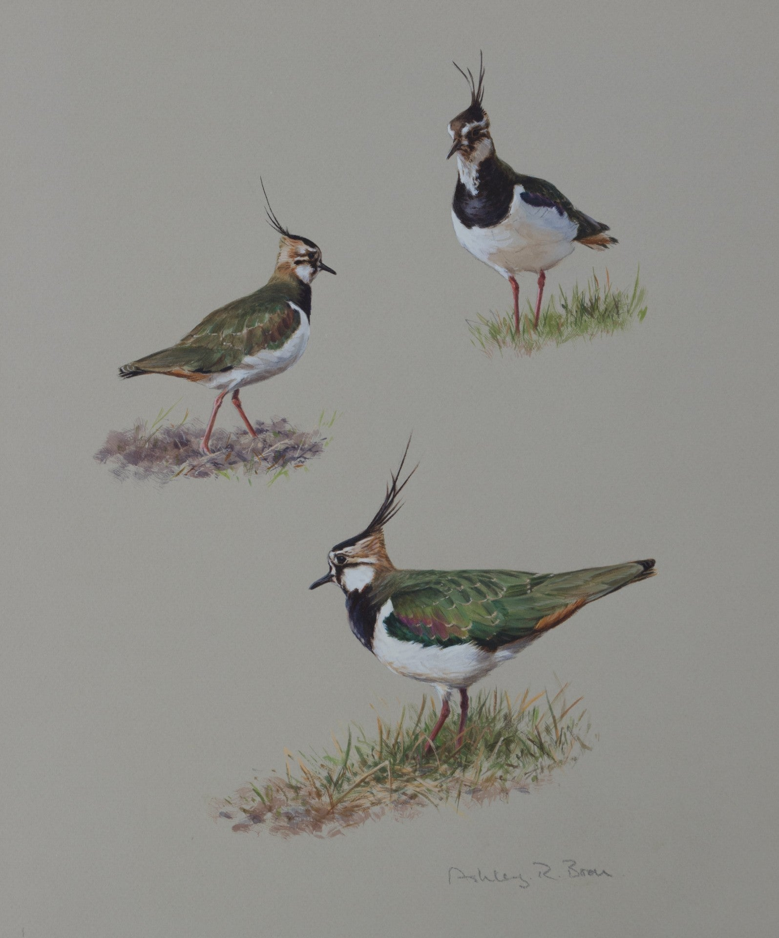 "'Lapwing Studies' Original watercolour by Ashley Boon - 14.5"" x 11"""