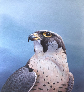 'Peregrine Study' - Original Watercolour Painting by Owen Williams - 16 x 14cm