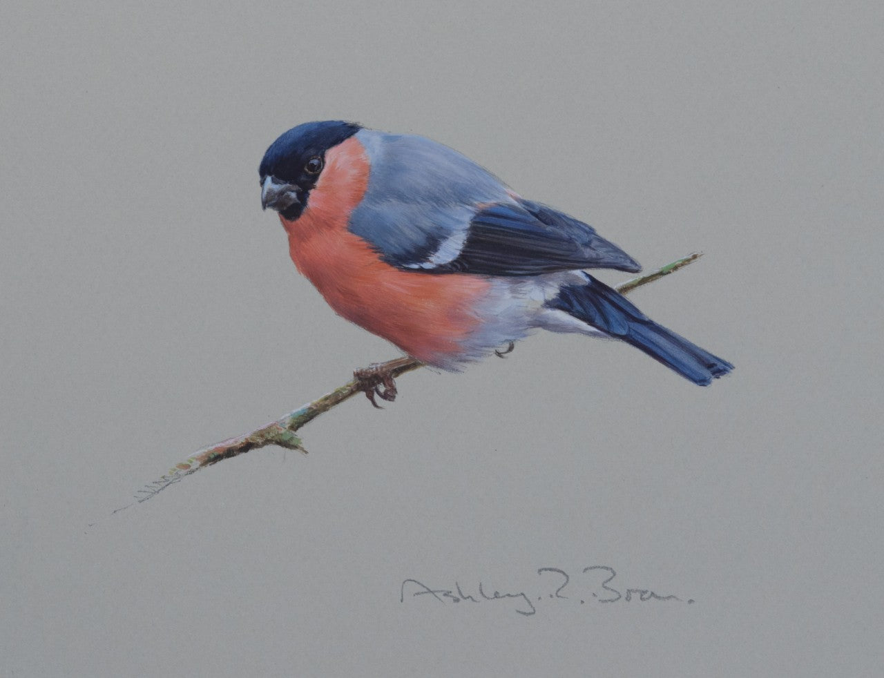 'Bullfinch Study' - Original watercolour by Ashley Boon - 6.5 x 7.5""