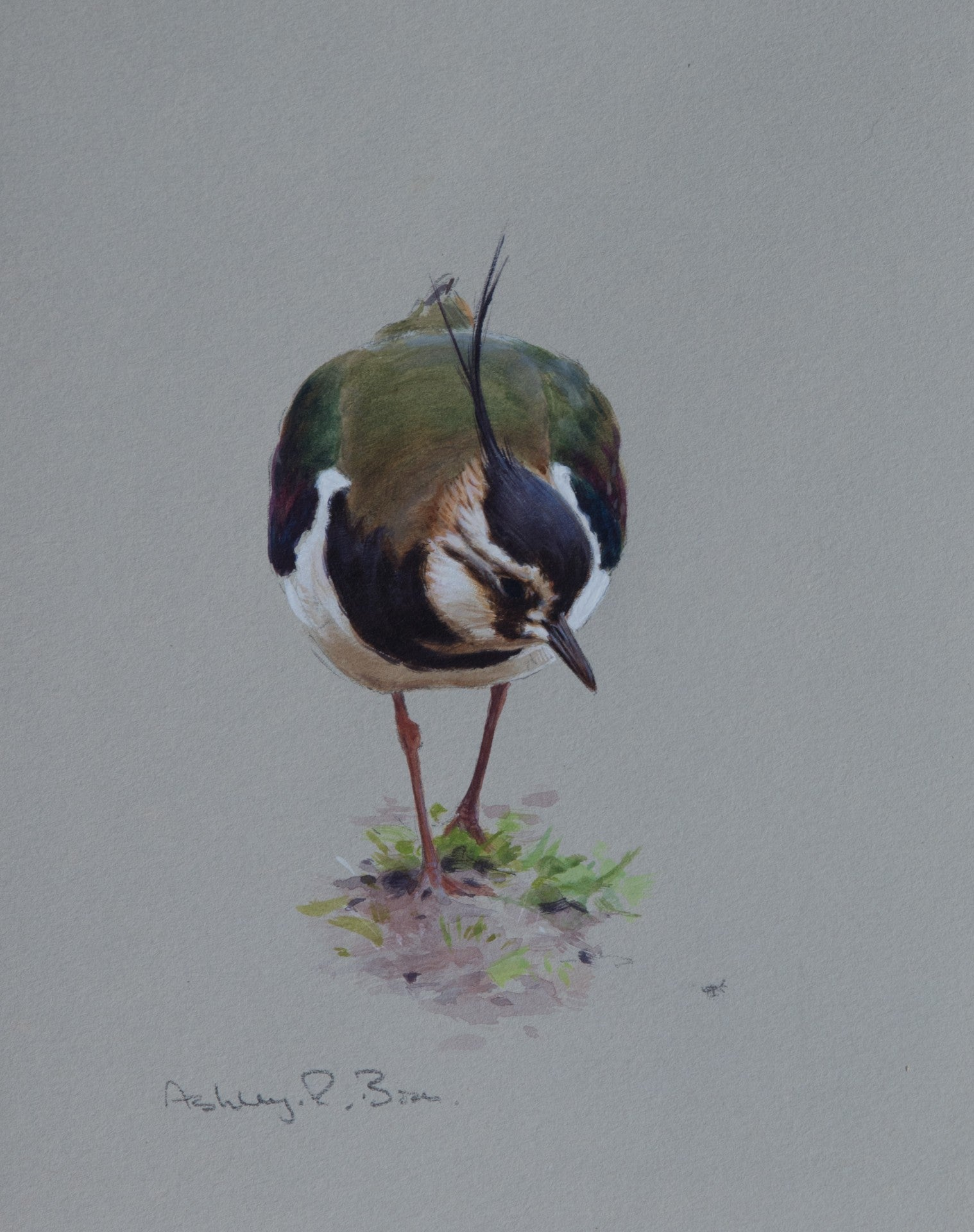 "'Lapwing Feeding Study' Original watercolour by Ashley Boon - 7.5"" x 6"""