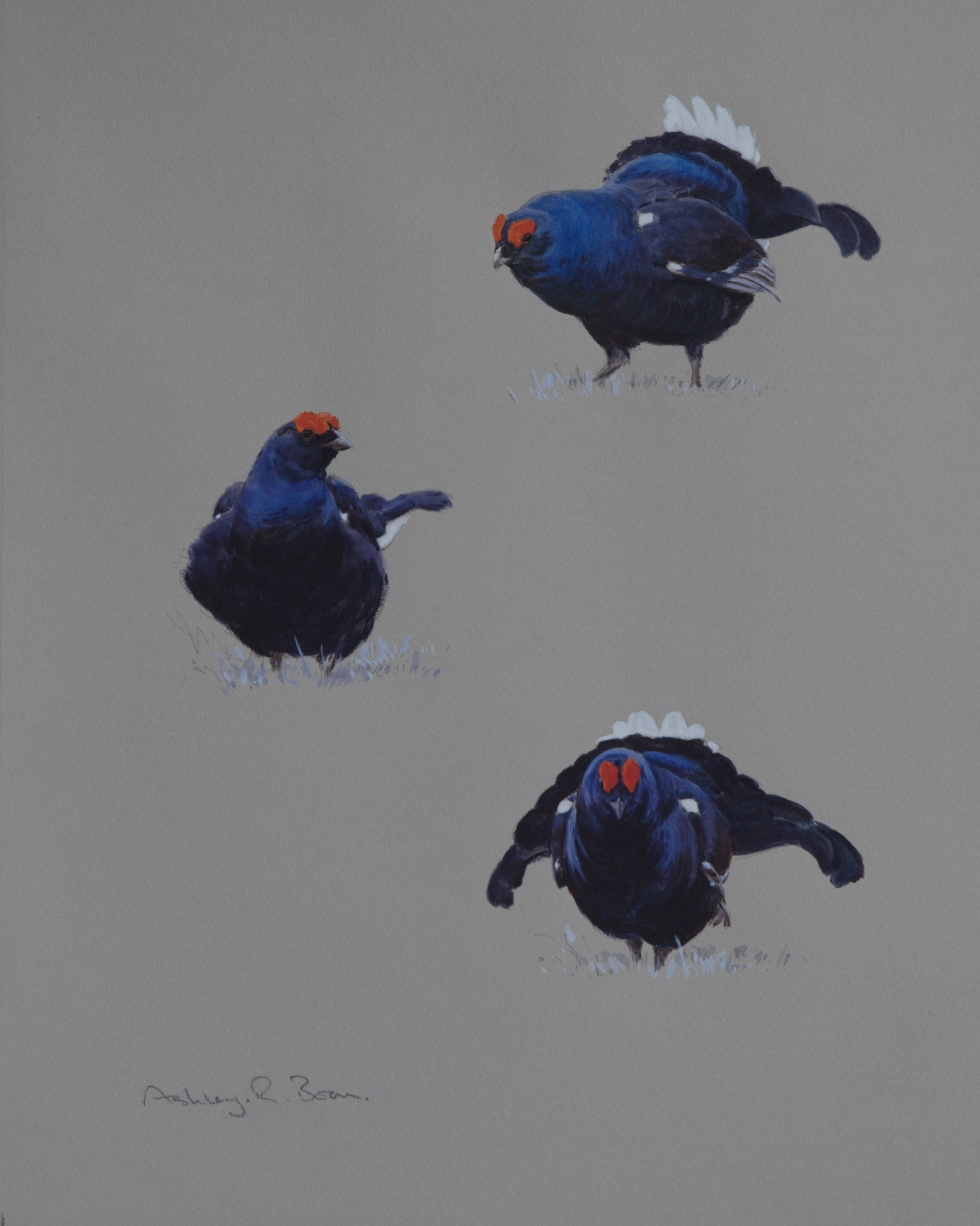 "'Black Grouse Studies' - Original watercolour by Ashley Boon - 14"" x 12"""