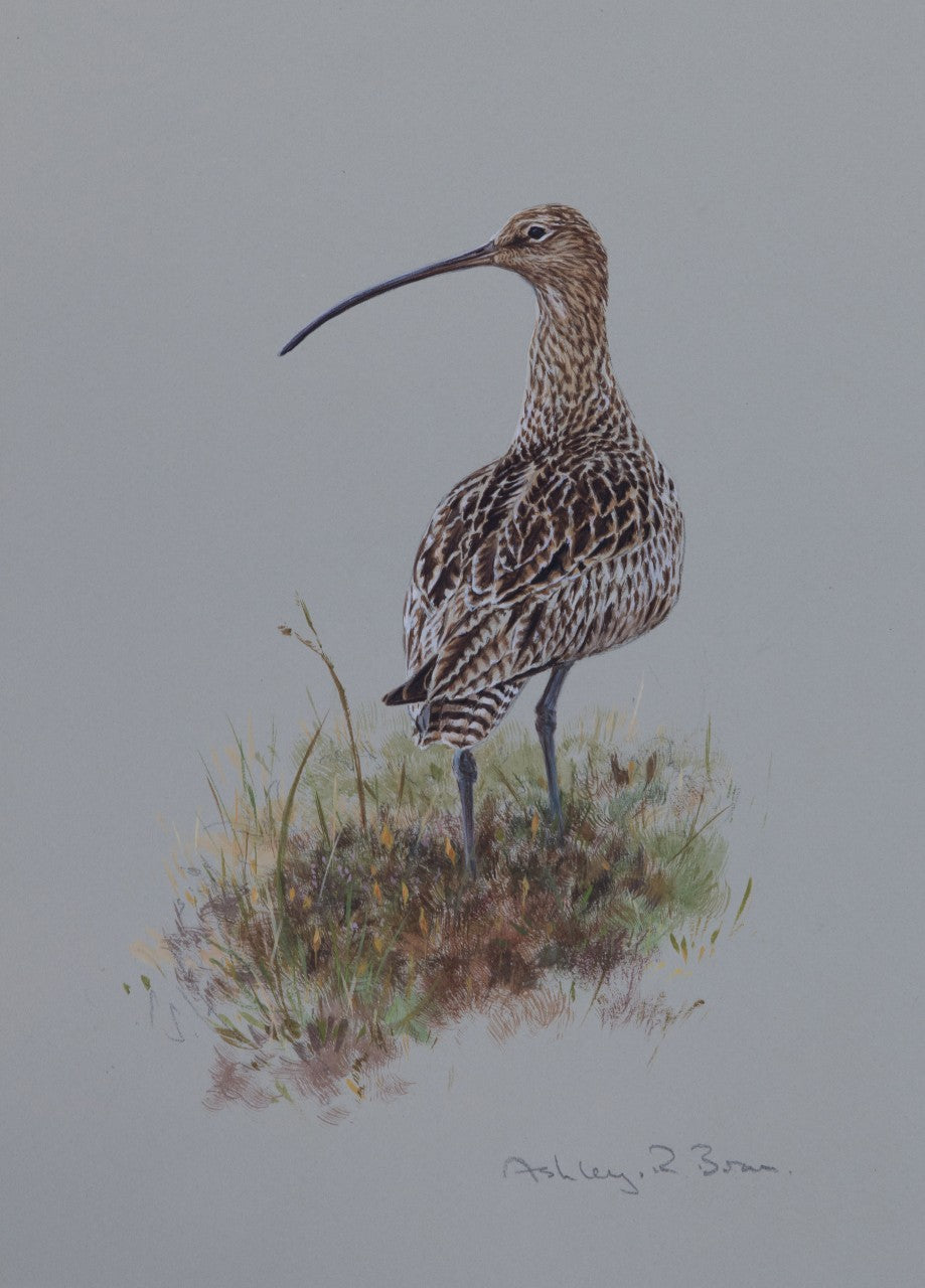 'Curlew' - Original watercolour by Ashley Boon - 12 x 8.75""