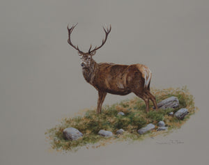 "'Old Stag' Original watercolour by Ashley Boon - 18"" x 21"""