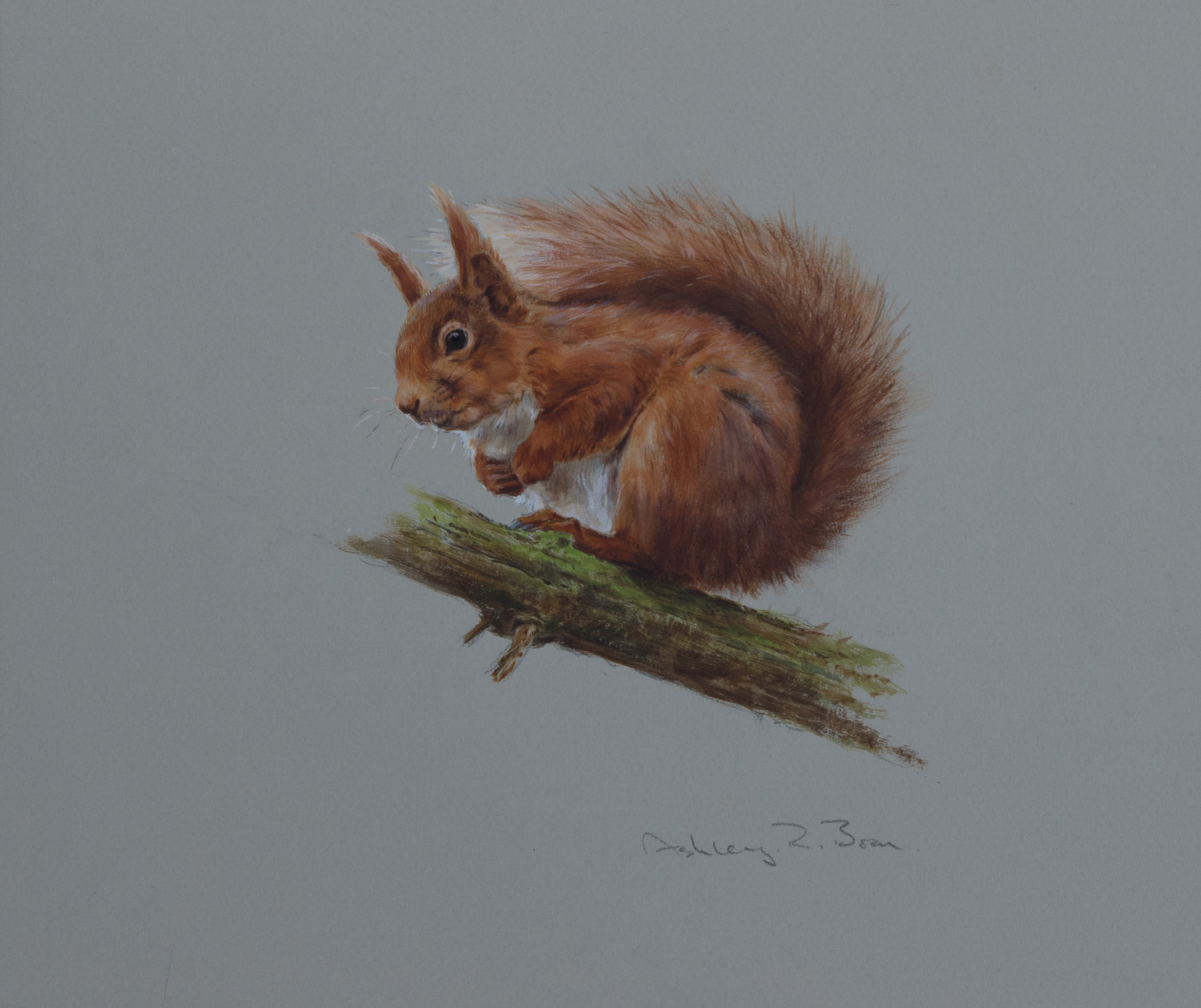 "'Red Squirrel II' - Original watercolour by Ashley Boon - 9.5"" x 8"""
