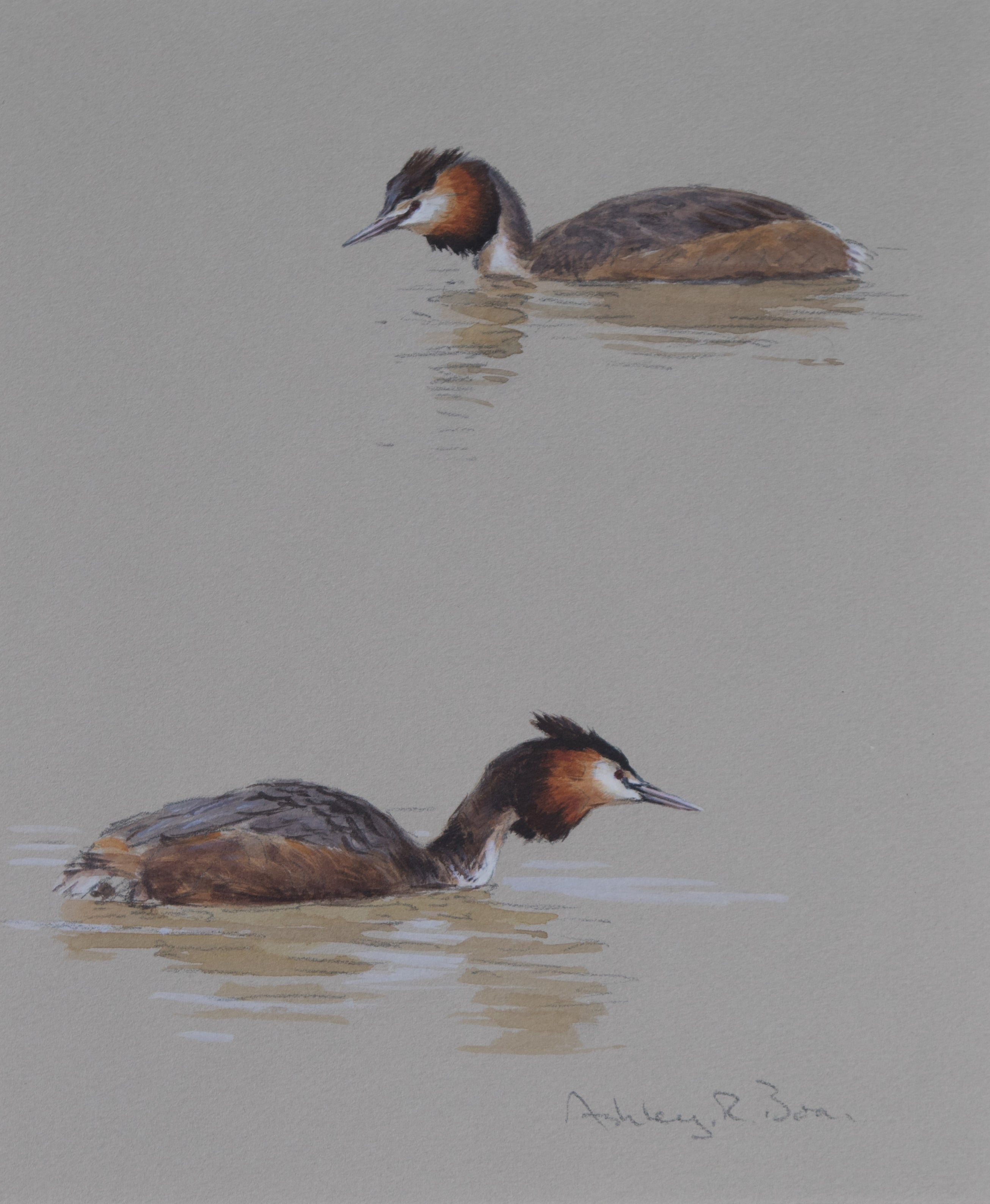 "'Great Crested Grebe Studies' - Original watercolour by Ashley Boon - 9.5"" x 8"""