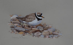 "'Ringed Plover' - Original watercolour by Ashley Boon - 7"" x 12"""