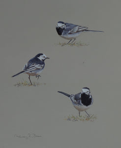 "'Pied Wagtail Studies' - Original watercolour by Ashley Boon - 13.5"" x 10.75"""