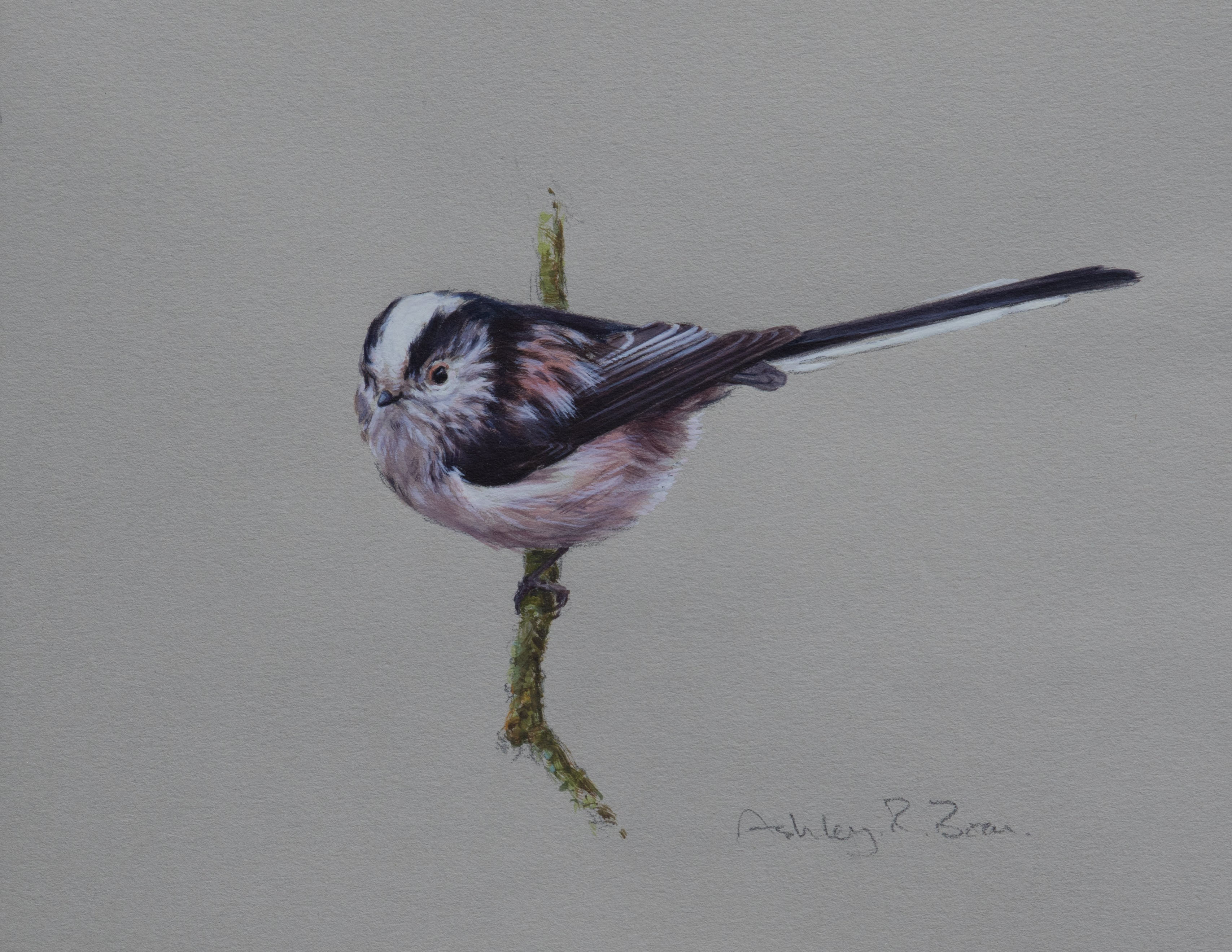 "'Long-tailed Tit Study' - Original watercolour by Ashley Boon - 6"" x 8"""