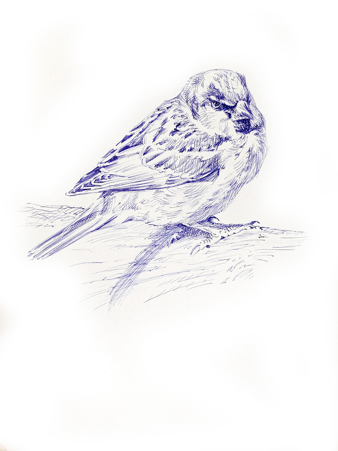 'House Sparrow' - Original Ink Drawing by David Cemmick - 35 x 25cm