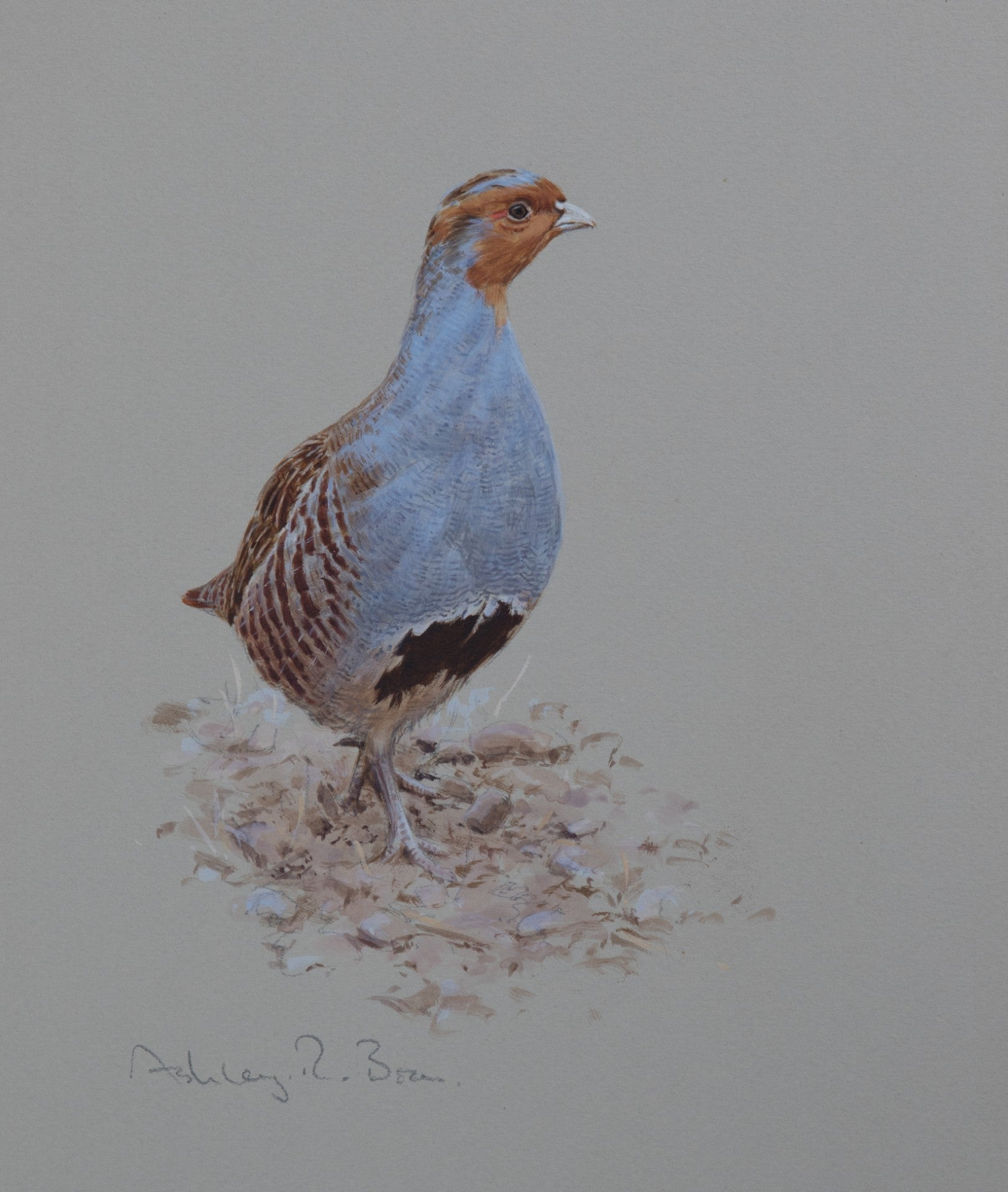 "'Grey Partridge Portrait' - Original Watercolour by Ashley Boon - 10"" x 8.5"""