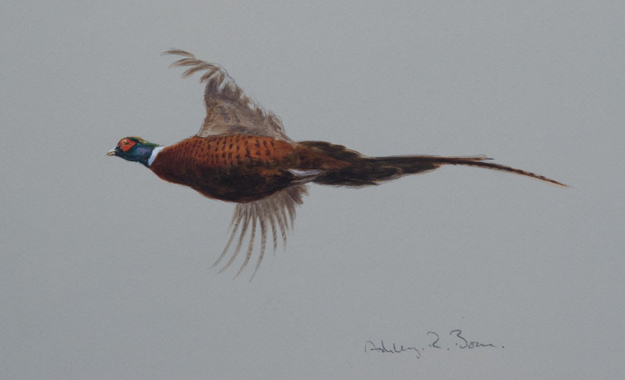 'Cock Pheasant' - Original watercolour by Ashley Boon - 6 x 9.5""