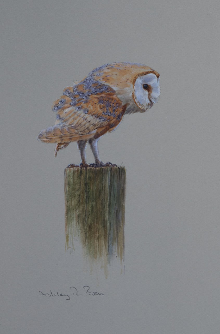 'Barn Owl Study' - Original watercolour by Ashley Boon - 11.25 x 7.75""