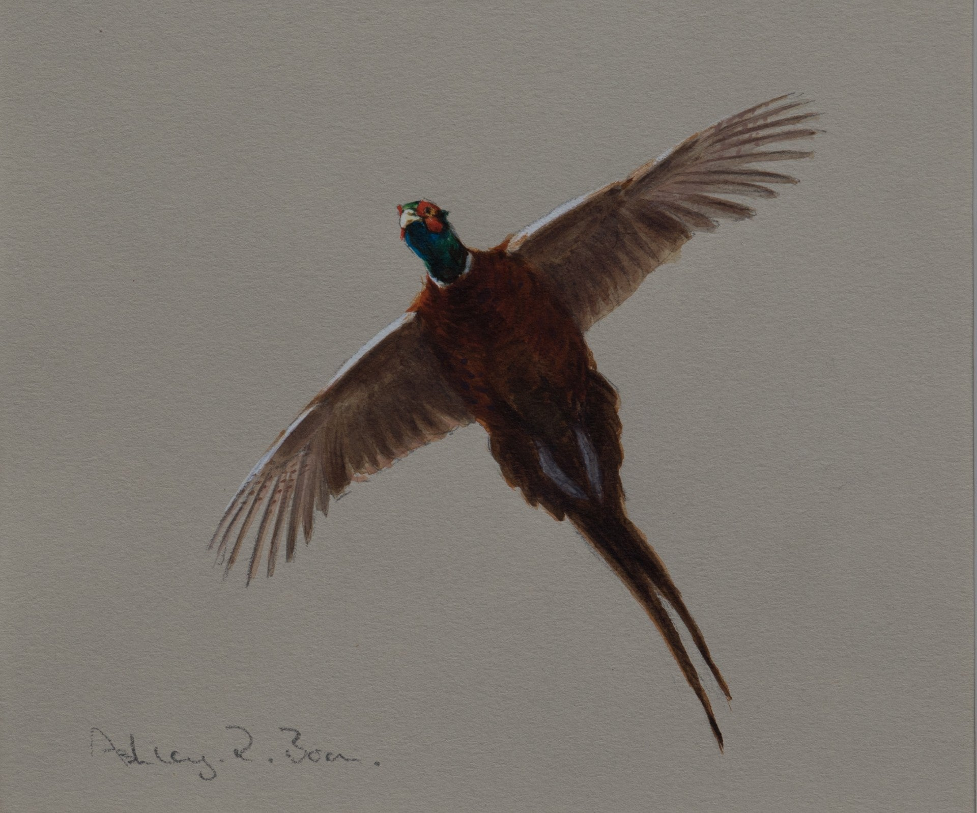"'Cock Pheasant Flight Study' Original watercolour by Ashley Boon - 6"" x 7"""