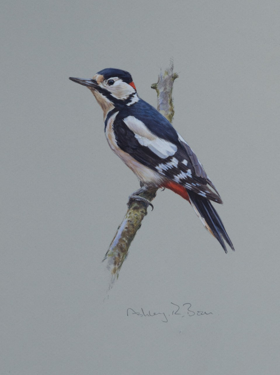 'Great Spotted Woodpecker Study' - Original watercolour by Ashley Boon - 10 x 7.5""