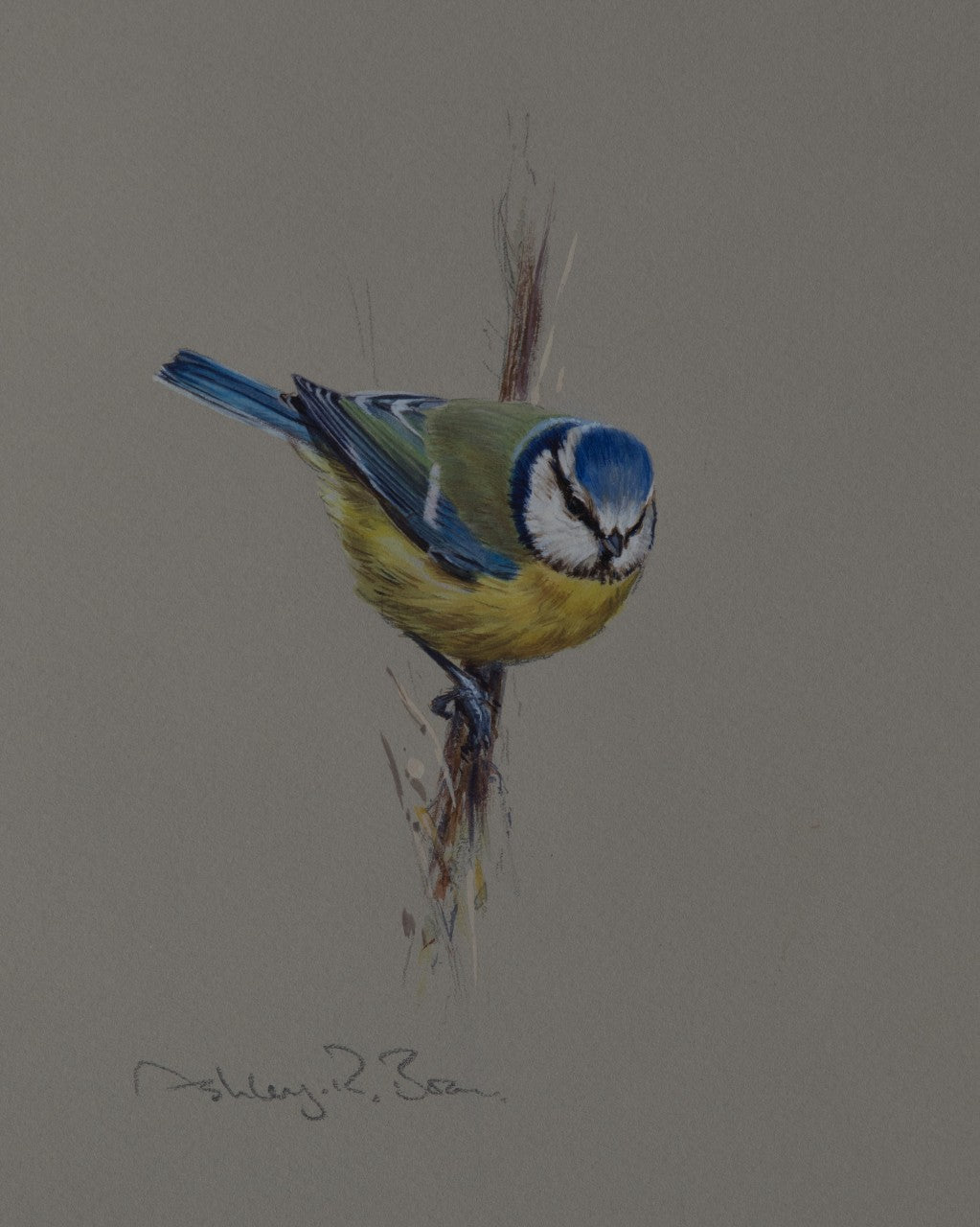 'Blue Tit Study' - Original watercolour by Ashley Boon - 8 x 6.5""