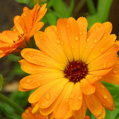 Calendula officinalis flower Extract