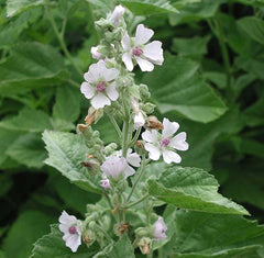 Althaea Officinalis (Marshmallow) Root Extract
